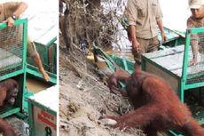 Pony, Orangutan Korban Pelacuran Itu, Siap Hidup Bebas Lagi