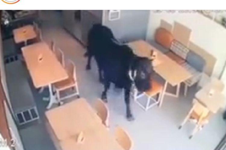 Seekor sapi kurban masuk ke dalam kafe di Semarang, Jawa Tengah, Jumat (9/8/2019).