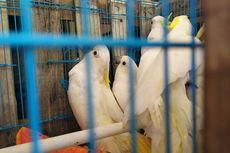 47 Ekor Burung Kakatua Jambul Kuning Dikembalikan ke Habitat Asal di NTT