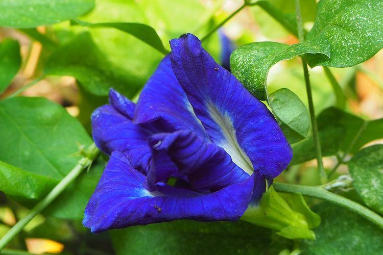 Ilustrasi bunga telang.