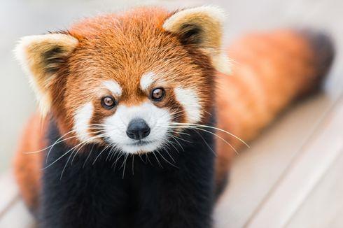 Menyelamatkan Red Panda dengan Masker dari Himalaya