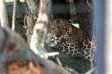 Krisis Kebun Binatang Daerah, Opsi Terakhir Sembelih Hewan untuk Pakan Hewan Lainnya
