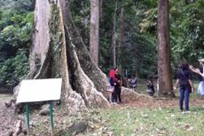 Pohon Kenari Babi, Tempat