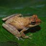 LIPI Temukan Spesies Baru Katak Pucat dari Garut, Status Terancam Kritis