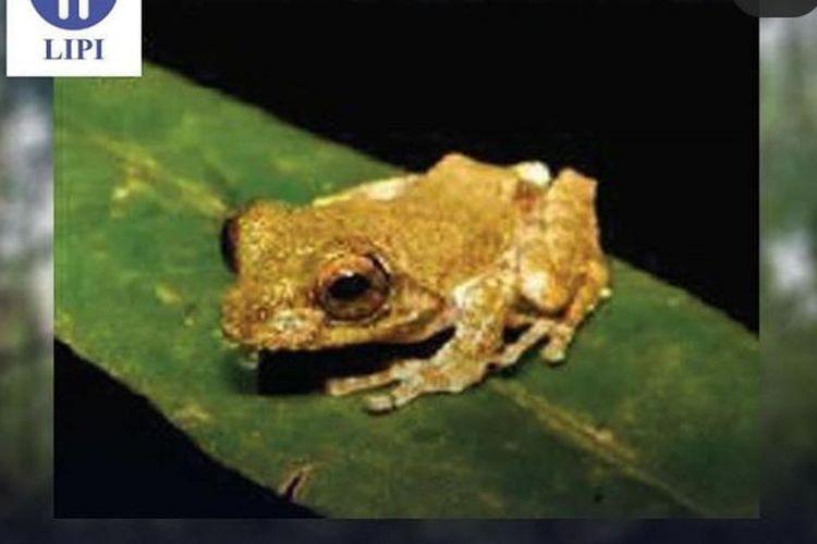 Katak pohon spesies baru dari Kalimantan yang warna tubuhnya menyerupai batang pohon. Katak ini diberi nama katak renda piasak (Kurixalus absconditus).