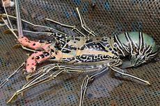 Fakta Lobster, Dulunya Makanan Orang Miskin dan Narapidana