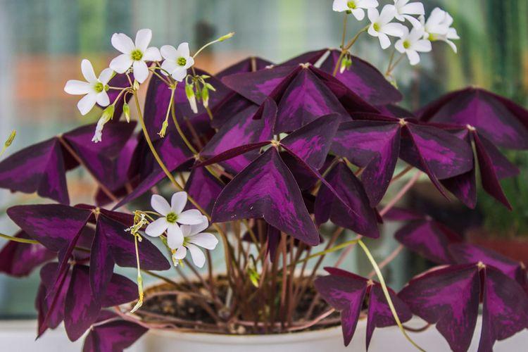 Ilustrasi tanaman hias oxalis.