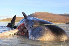 Jutaan Ton Alat Tangkap Ikan Ancam Kehidupan Paus dan Anjing Laut