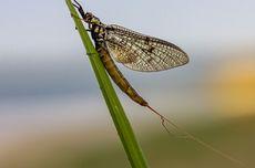 Danish Mayfly Dinobatkan sebagai Insect of The Year 2021