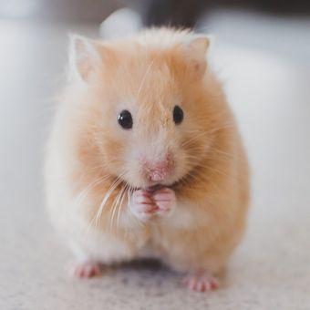 Hamster juga dapat memicu reaksi alergi, misalnya karena kandangnya yang jarang dibersihkan.