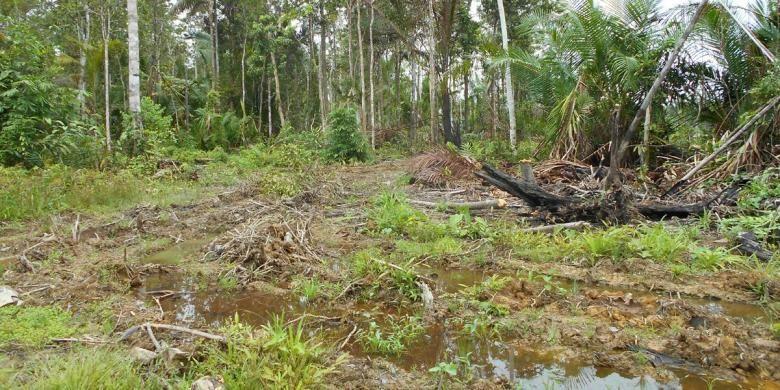 Pohon Sagu di Papua Barat