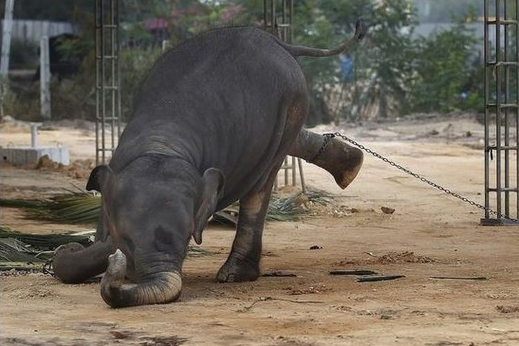 Gajah dalam penangkaran yang diikat dengan rantai agar tidak bisa kabur dan tetap di tempat.