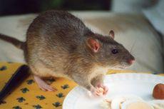 Jangan Diracun, 5 Bahan Alami Ini Ampuh Usir Tikus