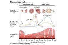 Memahami Siklus Menstruasi dan Ovulasi
