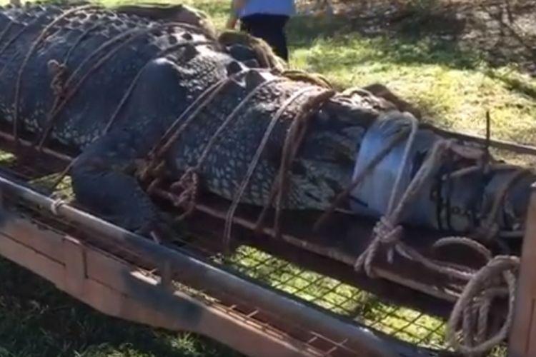 Buaya sepanjang 4,7 meter di tangkap petugas di Australia