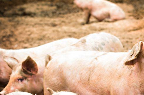 878 Babi di Palembang Terserang ASF, Dokter Sebut Masih Layak Konsumsi