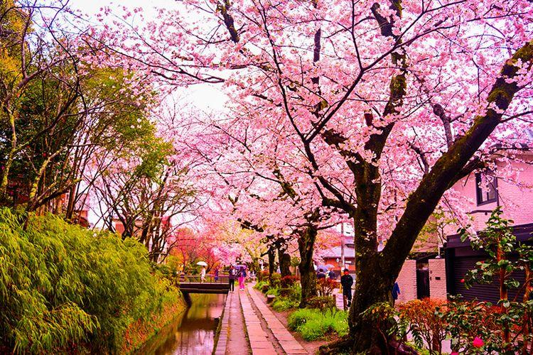 Keindahan bunga sakura di Philosopher?s Walk.