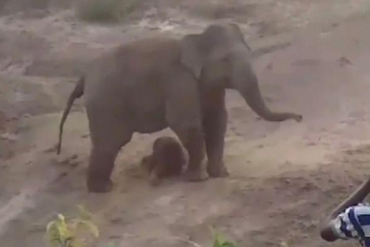 Potongan rekaman video memperlihatkan seekor induk gajah melindungi bayi yang baru saja dilahirkannya. Induk itu kemudian menyerang warga dengan satu orang dilaporkan tewas di West Bengal, India.