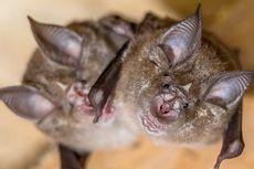 Ditemukan Virus Corona pada Kelelawar yang Ditangkap pada 2010 di Kamboja