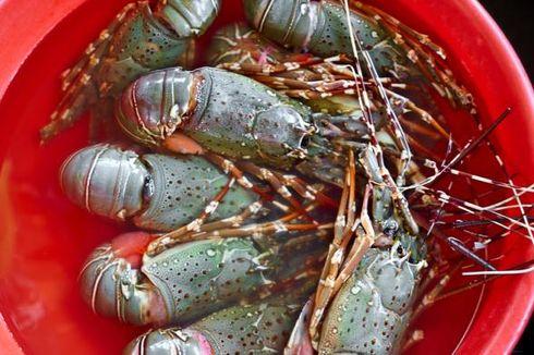 Soal Ekspor Benih Lobster, Ini Penjelasan KKP