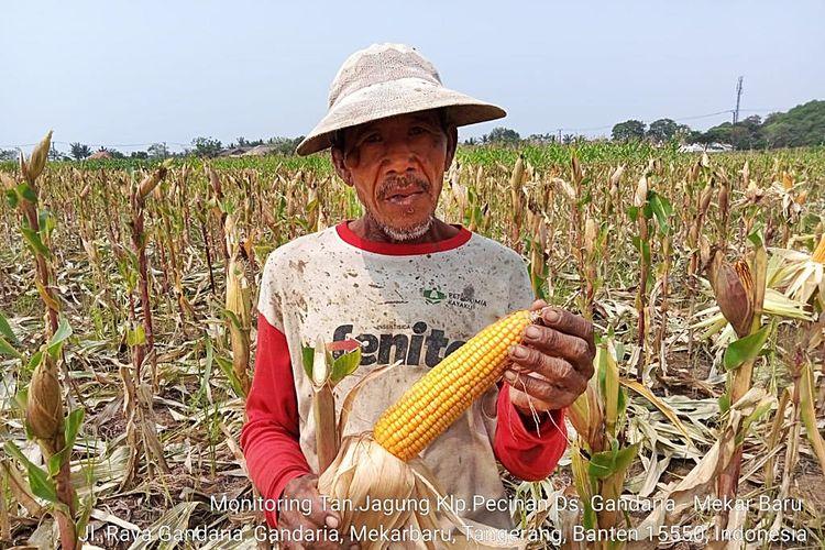 Panen jagung di Banten