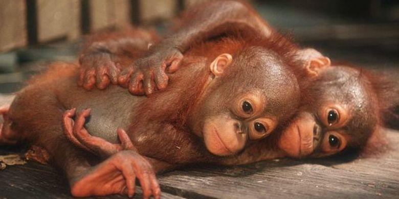 Terdapat pusat konservasi orang utan di Kalimantan Timur.