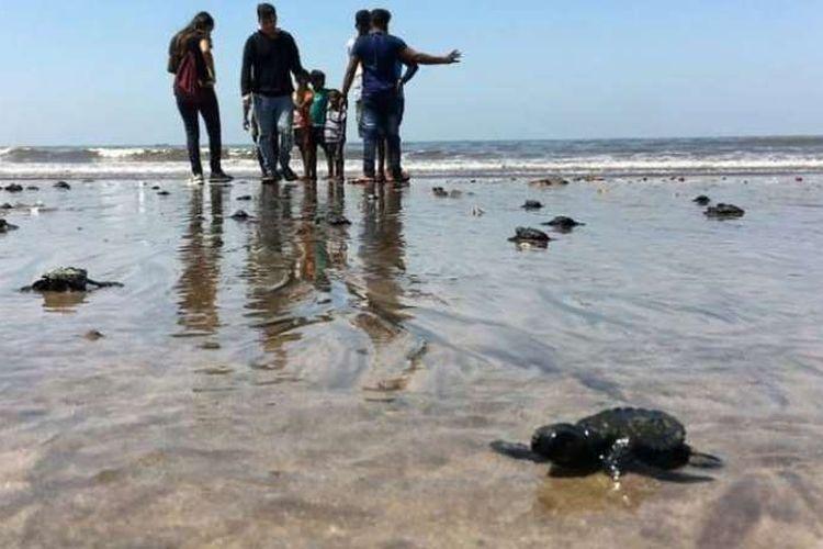 Penyu lekang atau olive ridley turtle menetas di pantai Versova, Mumbai, India. Ini adalah peristiwa pertama dalam 20 tahun terkahir setelah pembersihan sampah besar-besaran.