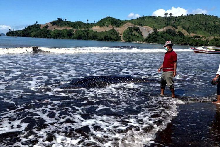 Bangkai ikan paus tutul di Pantai Bayem, Kecamatan Besuki, Kabupaten Tulungagung. Ikan tersebut diketahui terdampar di perairan dangkal pantai pada Kamis sore (22/4/2021) dan mati setelah nelayan dan warga gagal mendorong tubuhnya ke perairan yang lebih dalam.