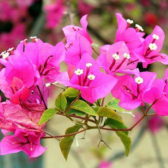 Ilustrasi tanaman bunga bugenvil atau bunga kertas.