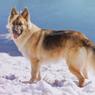 8 Fakta Menarik Anjing German Shepherd yang Kerap Disebut Herder