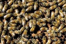 Seorang Pendaki Tewas Disengat 1.000 Ekor Lebah