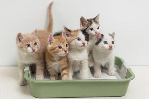 Studi Terbaru: Kucing Bisa Terinfeksi Covid-19, dan Tularkan ke Kucing Lainnya