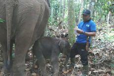Seekor Gajah Jinak Melahirkan Bayi Jantan di Taman Nasional Tesso Nilo, Riau