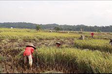 Tangkal Dampak Covid-19 pada Pertanian, Mentan Ajak Petani Manfaatkan KUR