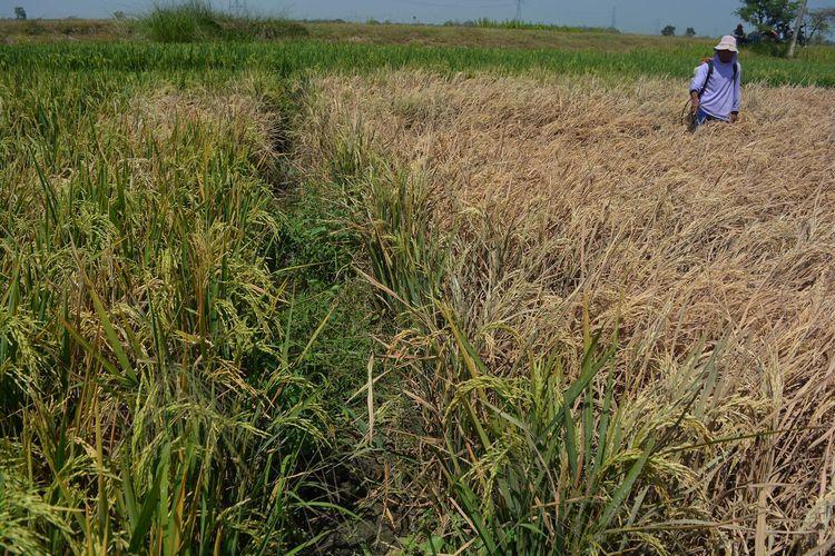 Petani dari Desa Sentul, Kecamatan Tembelang, Kabupaten Jombang, Jawa Timur, menyemprotkan obat pengendali hama tanaman pada yang lahan yang terkena serangan hama wereng, Kamis (27/8/2020).