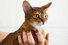 Panduan Singkat Cara Membersihkan Telinga Kucing Peliharaan