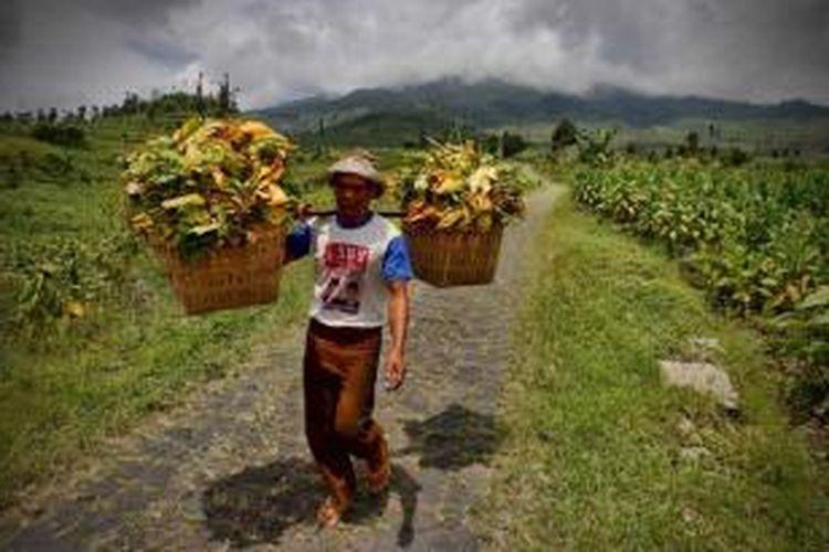 Petani memikul hasil panenan daun tembakau di Dusun Lamuk Gunung, Kelurahan Legoksari, Kecamatan Tlogomulyo, Temanggung, Jawa Tengah, Rabu (22/9/2010).