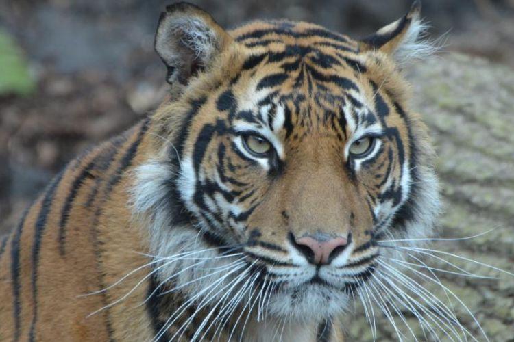 Melati, seekor Harimau Sumatra berusia 10 tahun yang mati dibunuh calon pasangannya di kebun binatang London, Inggris, pada Jumat (8/2/2019).