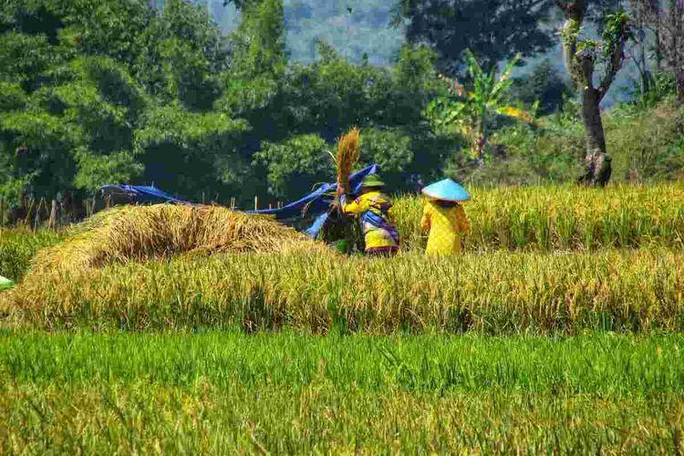 Petani asal Cibugel, Sumedang, Jawa Barat panen padi, Kamis (19/8/2021). AAM AMINULLAH/KOMPAS.com