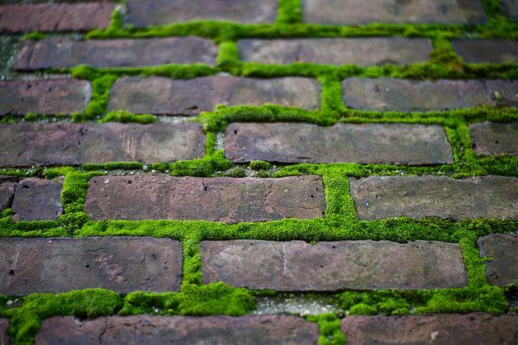 Ilustrasi tumbuhan lumut di dinding atau tembok.