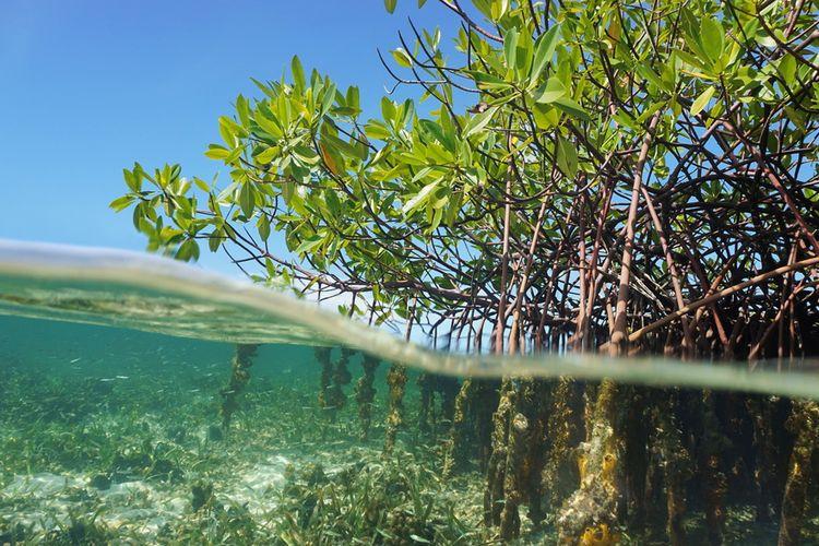 Ilustrasi mangrove (Rhizophora mangle) pohon bakau
