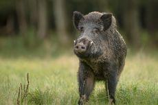 3 Tips Aman Saat Bertemu Babi Hutan di Gunung