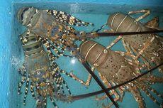 Jadi Polemik di RI, Berapa Harga Lobster di Pasar Dunia?