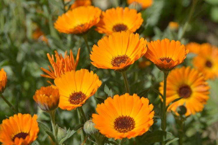 Ilustrasi bunga calendula.