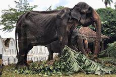 Sri Lanka Selidiki Kasus Gajah Kurus Tikiri yang Dipaksa Bekerja