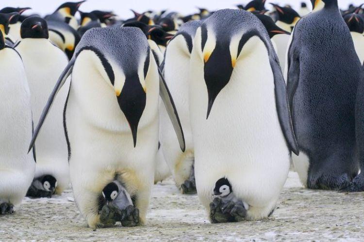 Penguin kaisar dewasa dan anak mereka di dekat stasiun penelitian di Terre Adélie, Antartika. Periset menemukan bahwa penguin jantan sering kali menyelinap ke luar dari koloni untuk berburu selama musim kawin.