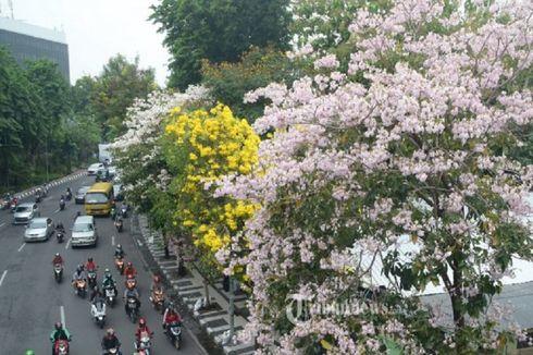 Risma Akan Perbanyak Bunga Tabebuya Beragam Warna di Surabaya, Ini Tujuannya