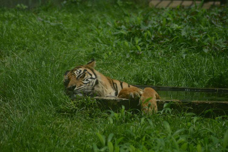 Ilustrasi harimau sumatera di Medan Zoo. Selama 3 hari libur lebaran, jumlah pengunjung di Medan Zoo mencapai 5.834 orang. Jumlah tersebut jauh lebih rendah dibandingkan sebelum pandemi.