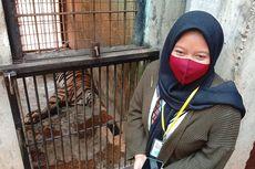 Penuturan Pengunggah Video Harimau Sumatera Kurus yang Sempat Viral: Hanya Merasa Iba