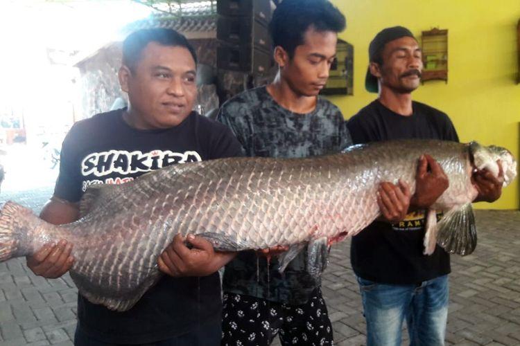 Salah satu ikan Arapaima Gigas koleksi Masudin, warga Dusun Ketanen, Desa Banyuarang, Kecamatan Ngoro, Kabupaten Jombang, Jawa Timur. Ikan itu diketahui mati mendadak, diduga akibat cuaca panas.